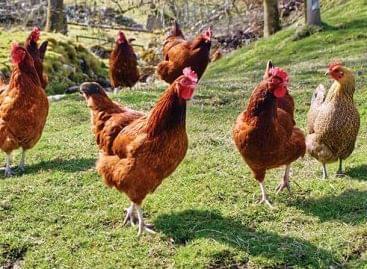 Csökkenő csirkeárak