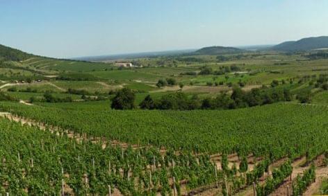 A Tokaj Kereskedőház tízezer tonna szőlő felvásárlására készül