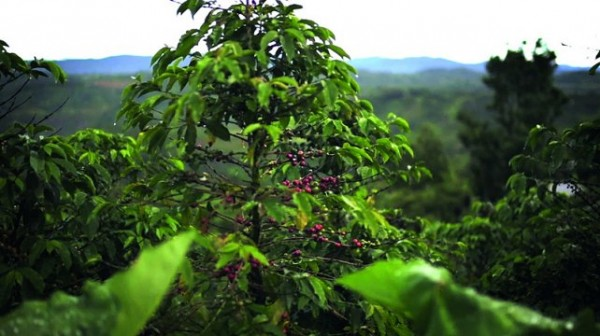 kavecserje-Kolumbia