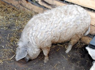 This year there will be a mangalica festival in Debrecen as well