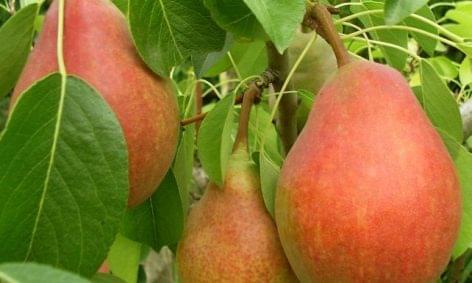 Szappanbuborékkal szállítottak pollent a gyümölcsfákra japán tudósok