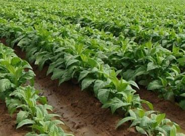 Kétéves dohánytermesztési szerződést köt termelőivel az ULT Magyarország Kft.