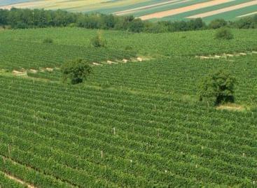 Szekszárdon ültetik el a maribori öreg szőlő oltványát