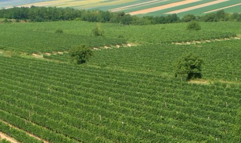 High quality grapes are expected in the Szekszárd wine region