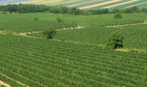 Jó minőségű szőlőre számítanak a szekszárdi borvidéken