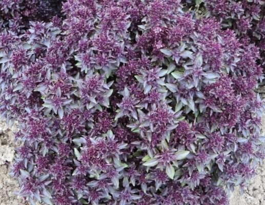 Ocimum basilicum Purple