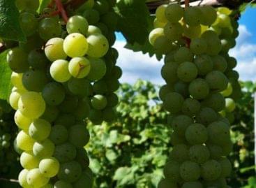 Remek szőlőtermést jósoltak Ópusztaszeren