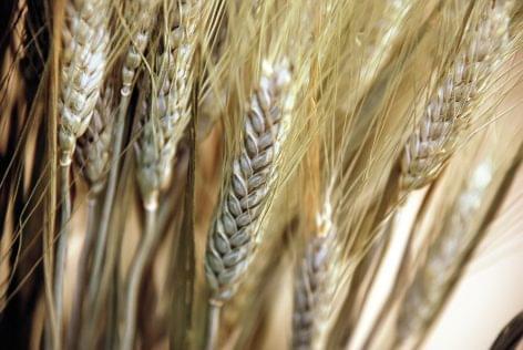 Hárommilliárdos károkozással vádolnak tatabányai gabonakereskedőket