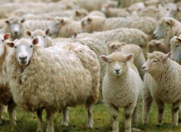A magyar bárányok legtöbbje Olaszországban köt ki