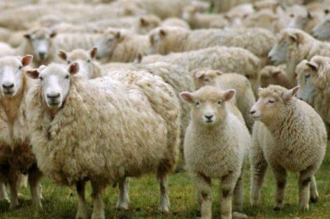 Csökkent a bárány felvásárlási ára Olaszországban