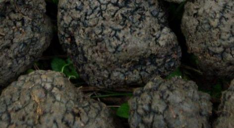 Nébih: közeledik a szarvasgomba-gyűjtési naplók érvényesítési határideje