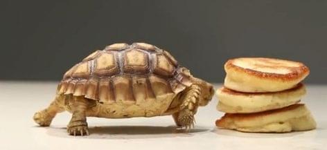 A teknős és az amerikai palacsinta – A nap videója