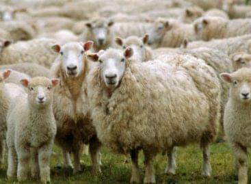 AM-államtitkár: juh- és kecskehús, valamint tejtermékek fogyasztását ösztönző kampányt indít a kormány