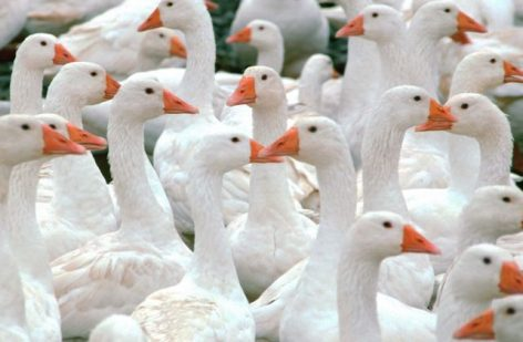 Hungarian goose production is also dominant at European level
