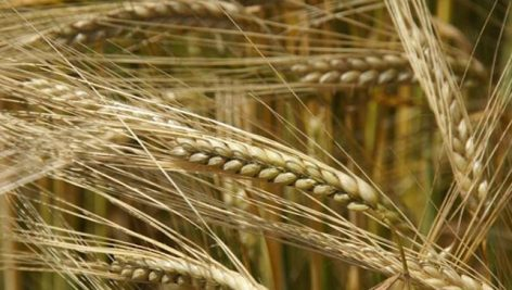 The harvest of autumn barley and rapeseed has ended in Békés County