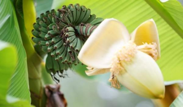 bananfa