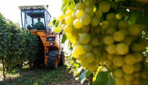 A Csabagyöngyével kezdődik el a szőlőszüret Európában