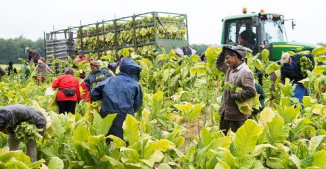 Madosz president: good tobacco crop is expected this year
