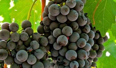 Nemzetközi portugieserszemlét és borkóstolót rendeznek Pécsett