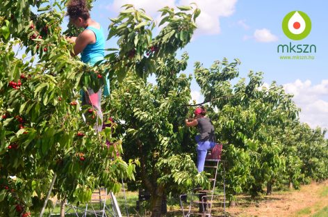 Hungarian bred fruits perform well in Chile