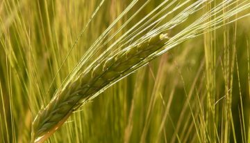 The average wheat yield is over six tonnes in Tolna County