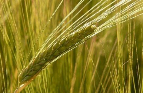 Gabonatermesztők: az aszály miatt jelentős lehet a terméskiesés