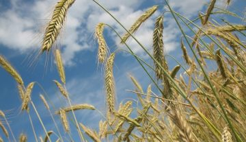 Higher yields are expected in Zala County this year