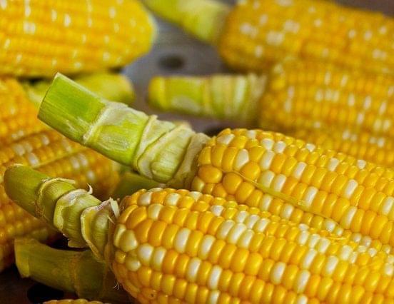 Leállt a kukorica aratása a rossz időjárás miatt
