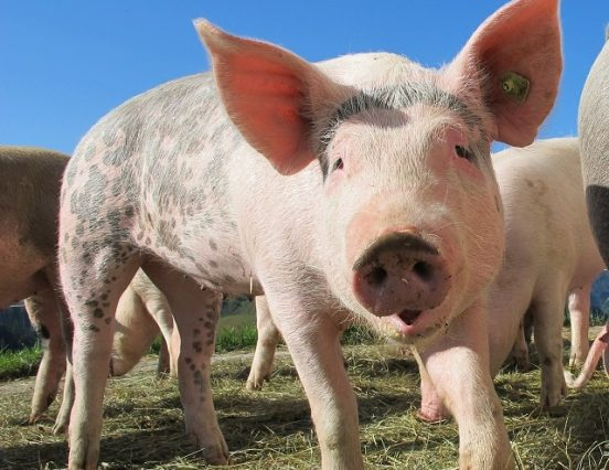Pork consumption increased as a result of VAT cuts