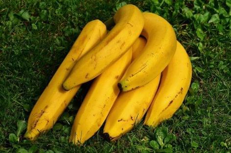 Gombafertőzés végezhet a kolumbiai banánnal