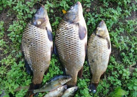 Nébih: ismét lehet pontyra horgászni