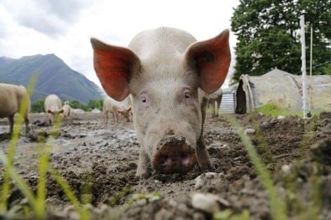 Terítéken a magyar sertéshúságazat