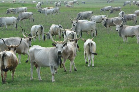 Hungarian grey cattle promoted from 90 million forints