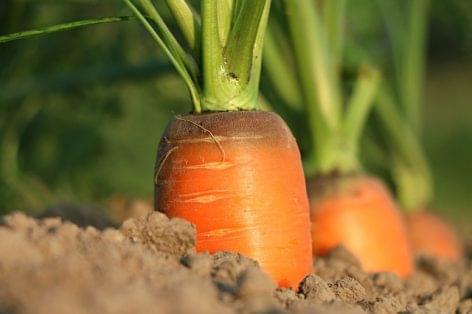 Magazin: Nagyot ugrott a sárgarépa ára