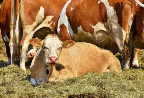Booming cattle trade between Hungary and Turkey