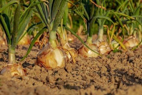 Aki a magyar hagymát választja, az a hazai termelőket segíti