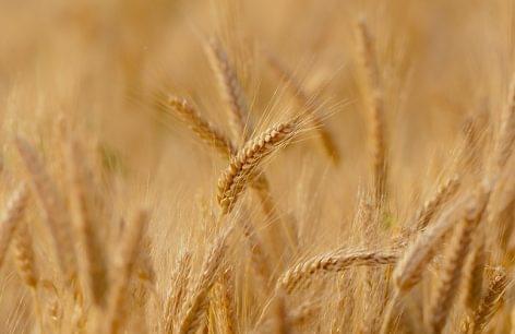 A búza ára 15%-kal magasabb az előző évinél