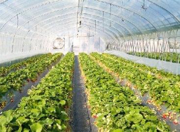 Nőtt az üvegházi zöldségek termelése Oroszországban