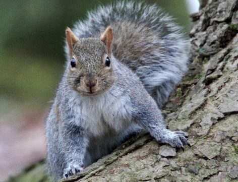 Népszerű a mókushús Londonban