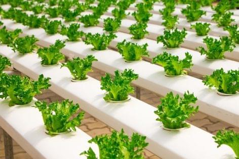 Áruházaiban termesztett salátát árulna az IKEA