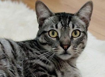 Minőségi hibákat tárt fel a Nébih a száraz macskaeledeleknél