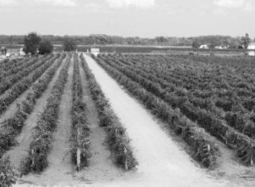 Borvirág Borklub – Bemutatkozik az izsáki Gedeon Pincészet (Kunsági borvidék)