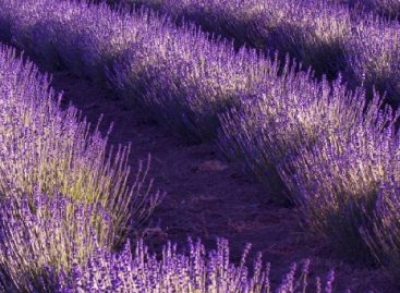 Ministry of Agriculture: the lavender harveszing campaign was successful again in Tihany this year