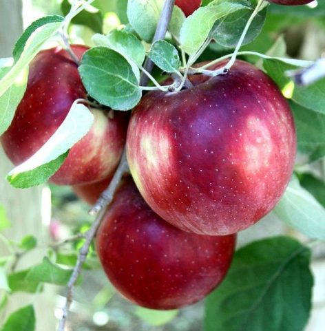 The new American apple variety promises to be successful