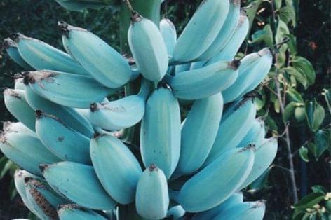 Blue banana with vanilla flavor