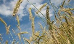 Közepes gabonatermés várható Jász-Nagykun-Szolnok megyében