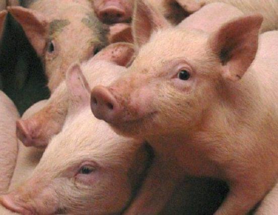 Hazánk az uniótól azonnali intézkedéseket sürget a sertéságazatban