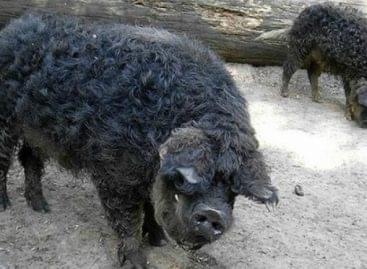 Védett, őshonos fajta lett a fekete mangalica