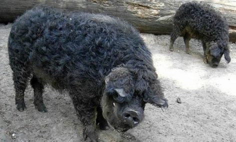 Black mangalica has become a protected, indigenous breed