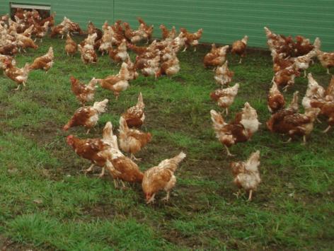 Szabadtartású tojás az áruházláncok polcain